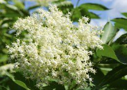 The elderflower, sambucus nigra