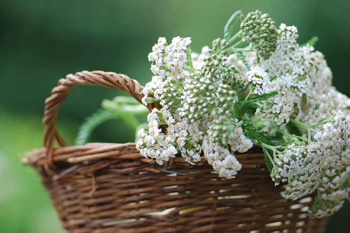 Yarrow: A Natural Insect Repellent