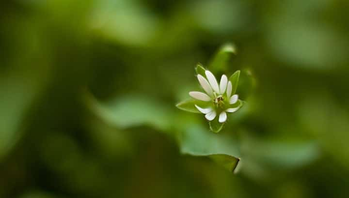 Chickweed tincture facial cysts