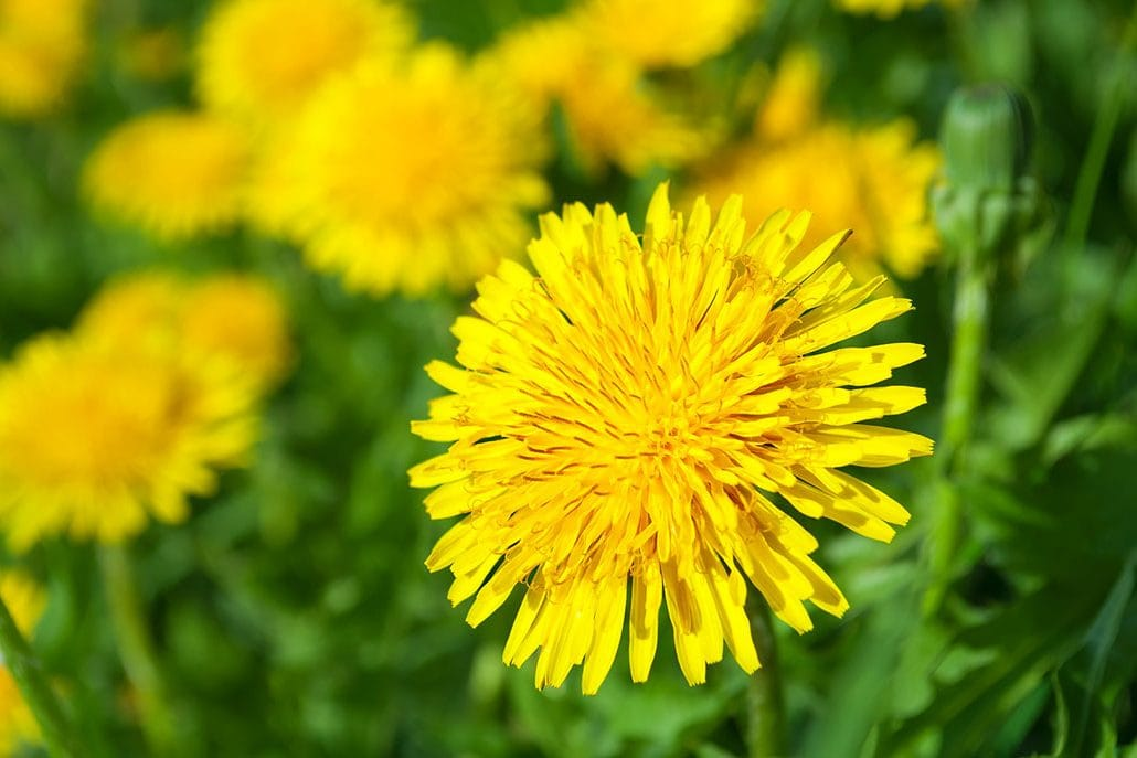 eat your weeds 7 ways to eat dandelions learningherbs